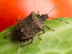 Halyomorpha halys, the brown marmorated stink bug, stink bug on a tomato