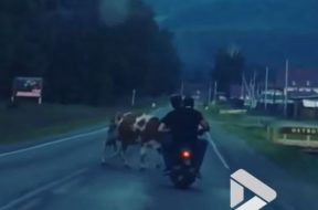 drunk-idiots-on-moped-crash-into-a-cow-in-russia-126806_1