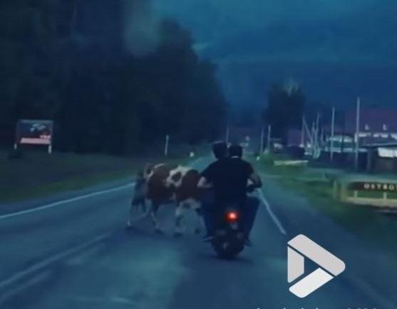 Pijani ruski skuteraši se sudarili sa kravom (video)