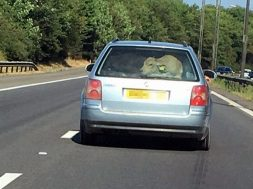 south-wales-police-looking-for-driver-who-crammed-a-cow-into-his-vw-passat-126934_1